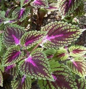 Have You Heard about Forskolin?
